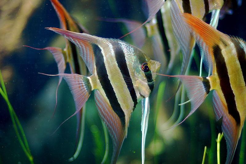 Angelfish - Pterophyllum altum - Aquarium Fish Paradise - Adelaide ...