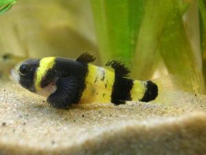 Bumblebee Goby